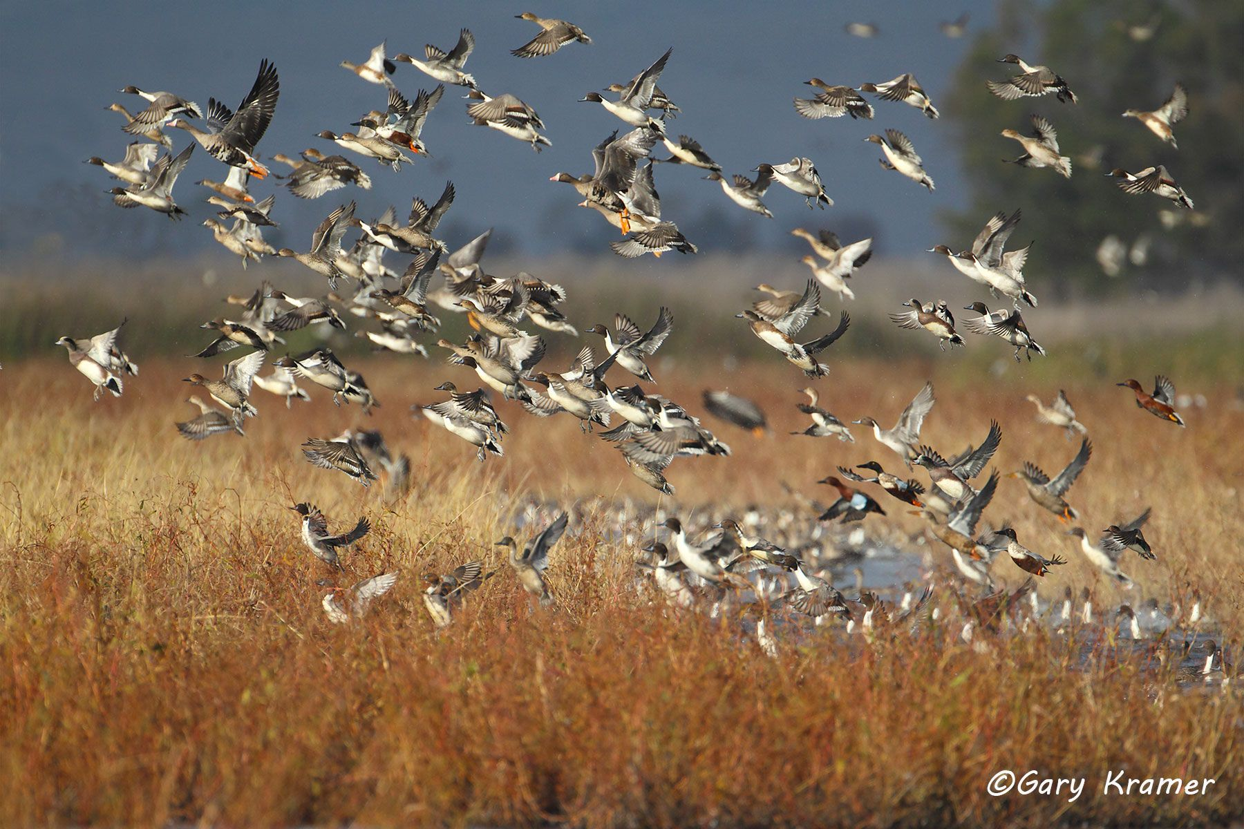 Northern Pintail/American Wigeon/Northern Shoveler/White-fronted Goose/Cinnamon Teal/Green-winged Teal - NBWX#727d