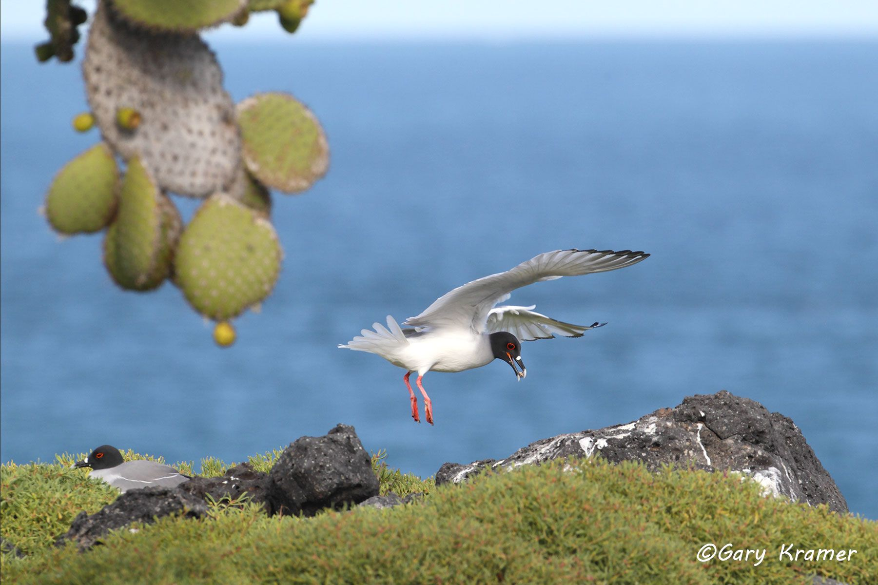 Swallow-tailed Gull (Creagrus furcatus) - SBGs#064d.jpg