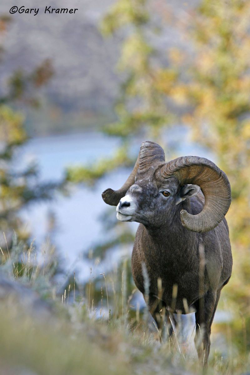 Rocky Mountain Bighorn (Ovis canadensis canadensis) - NMSBr#585d