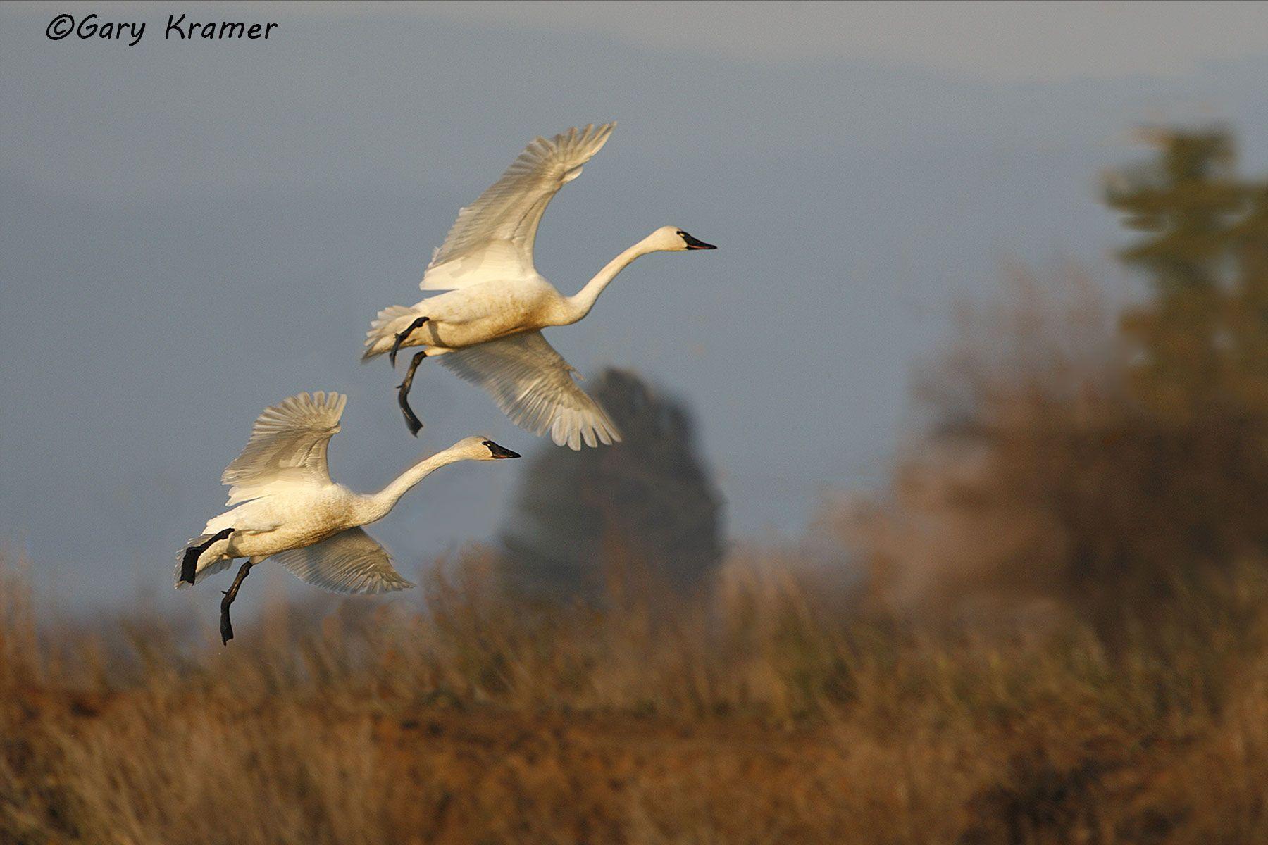 Tundra (Whistling) Swan (Cygnus columbianus) - NBWT#182d
