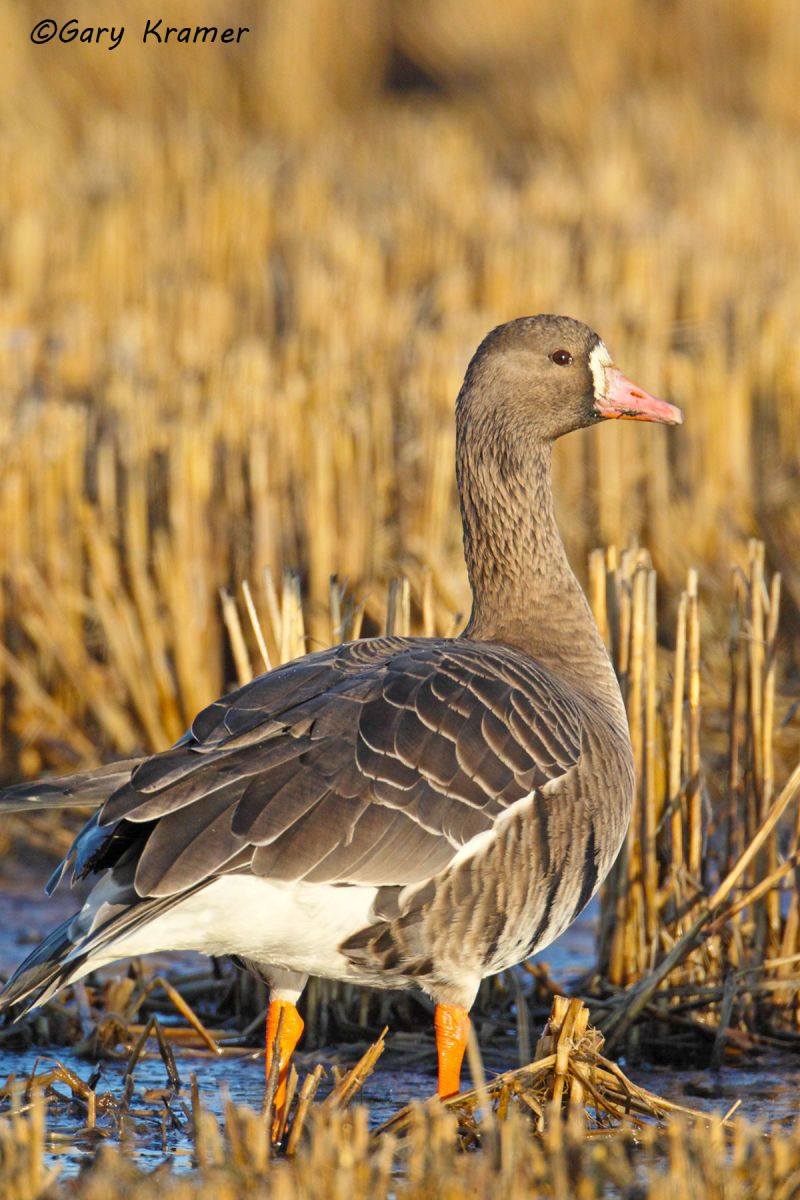 White-fronted Goose (Anser albifrons) - NBWWf#1271d