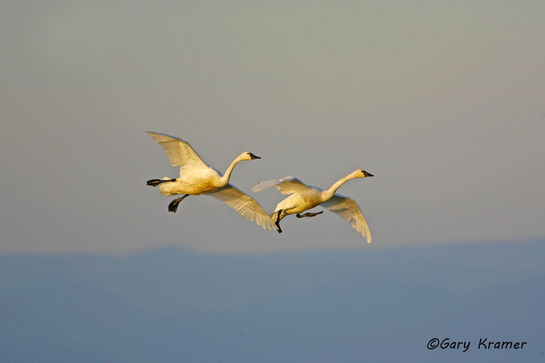 Tundra (Whistling) Swan (Cygnus columbianus) - NBWT#177d