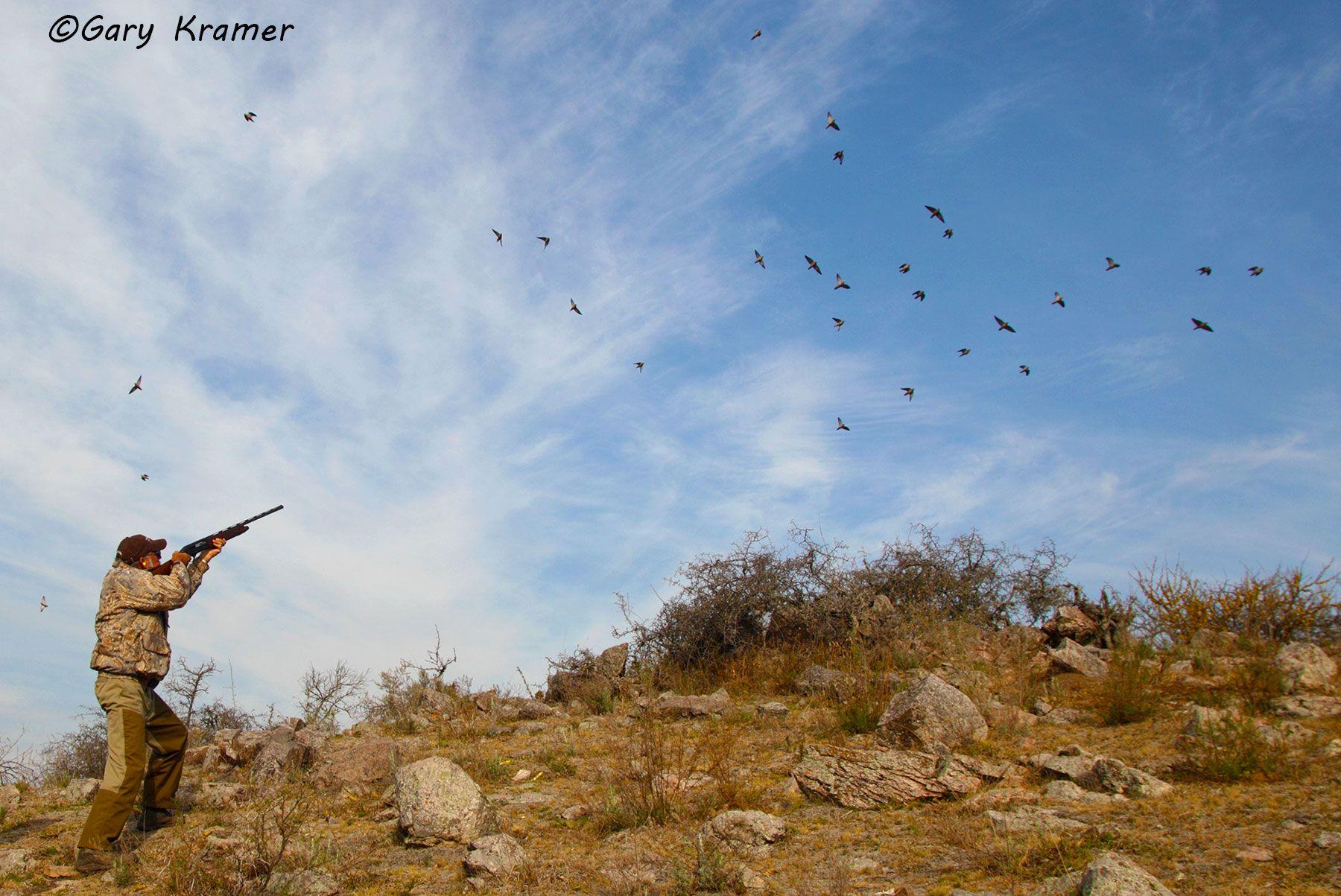 Hunter  shooting at Eared Dove, Argentina - SHdsb#179d