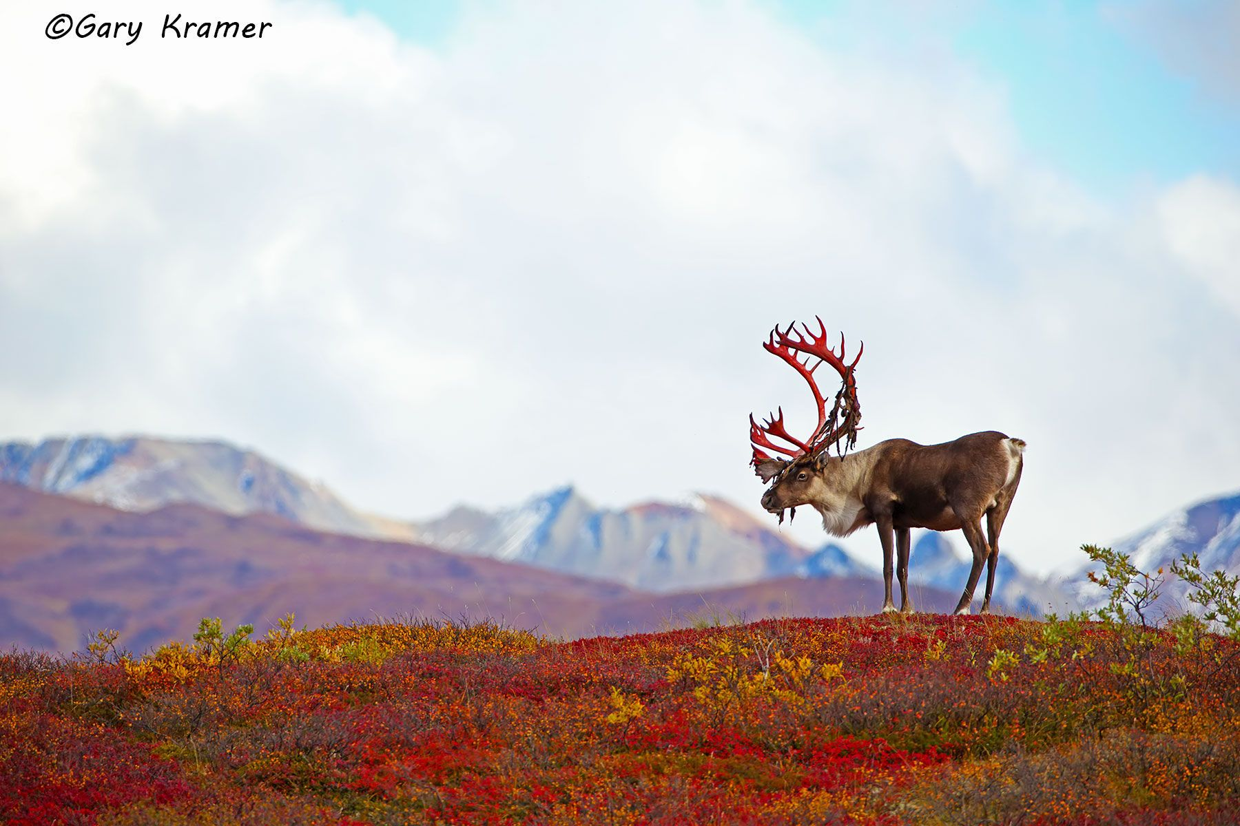 Barren Ground Caribou (Rangifer tarandus granti) - NMCb#418d