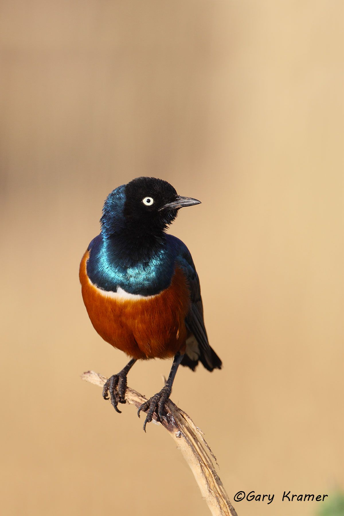 Superb Starling (Lamprotornis superbus) - ABSss#004d(2)