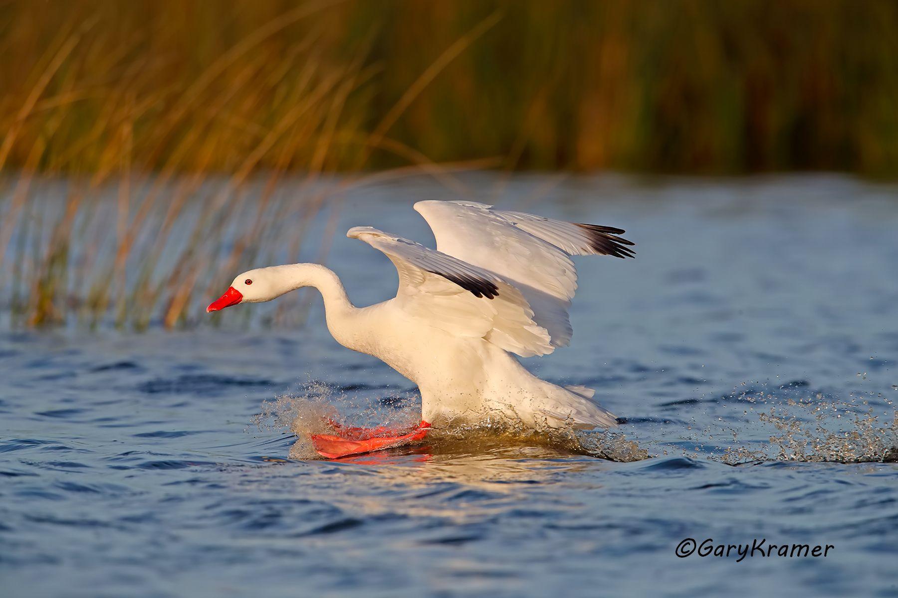 Coscoroba Swan (Coscoroba coscoroba) Argentina - SBWS#090d