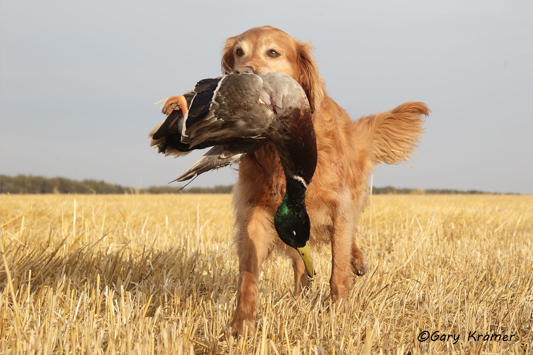 Golden Retriever retrieving Mallard - HDGrm#004d