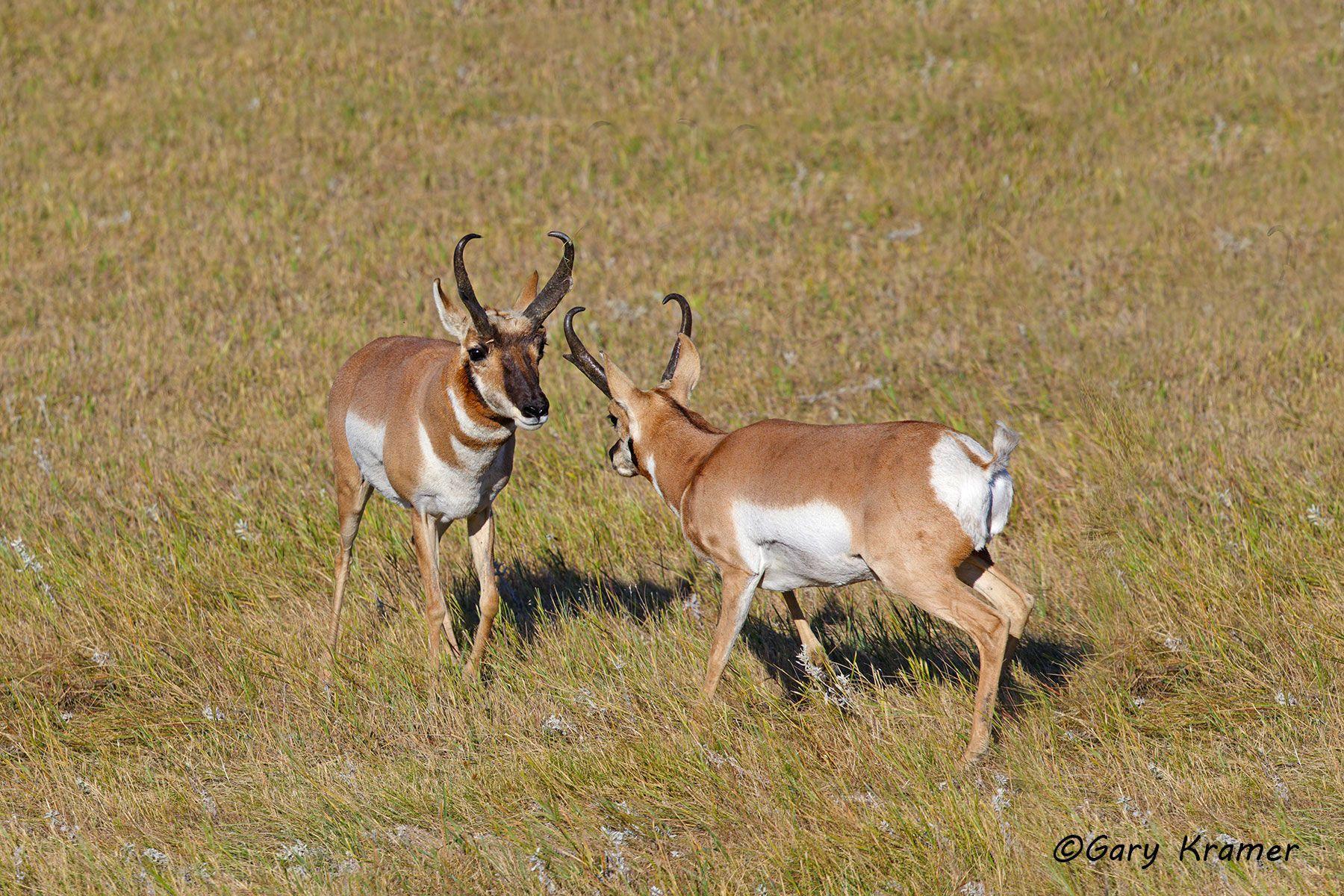 Pronghorn (Antilocapra americana) - NMP#663d