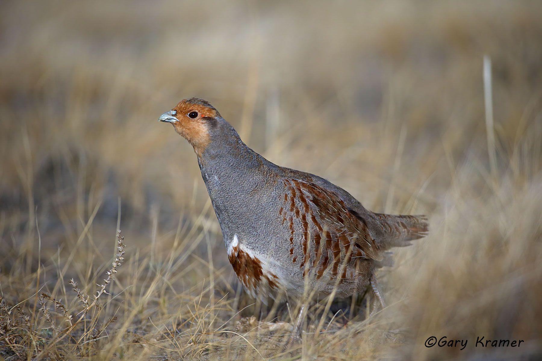 Gray (Hungarian) Partridge (Perdix perdix) - NBGGp#208d