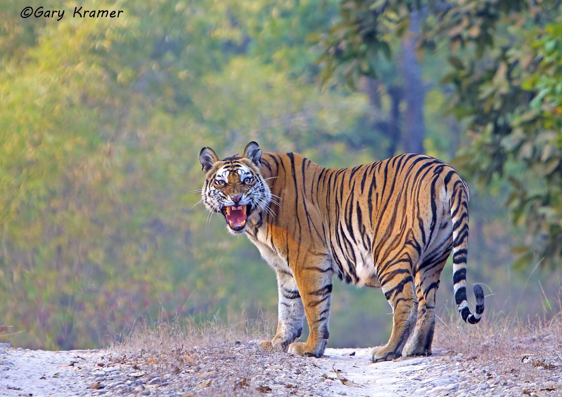 Tiger (Bengal) (Panthera tigrus tigrus) - AMTb#050d