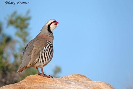 Partridge