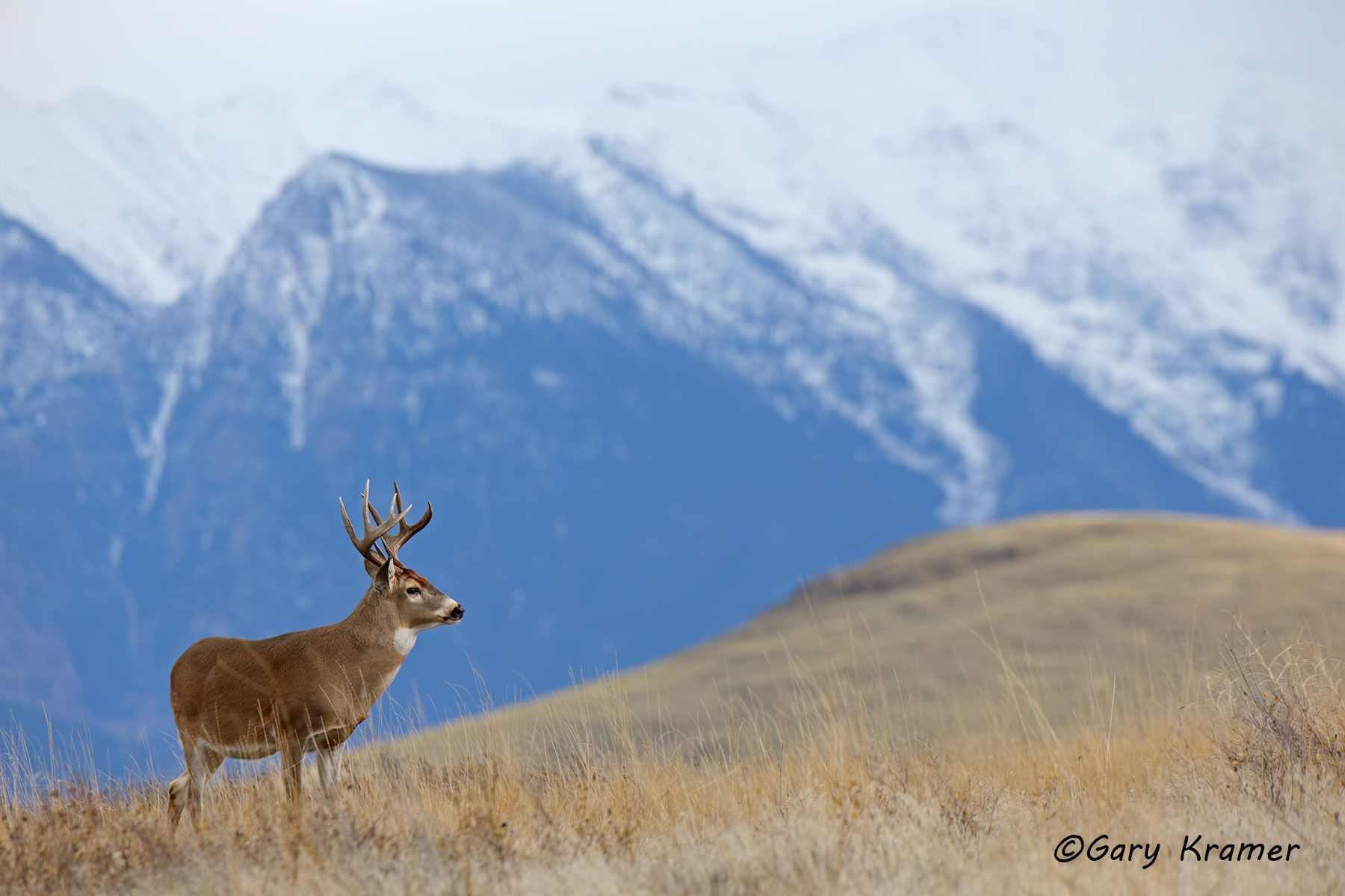 White-tailed Deer (Odocoileus virinianus) - NMDW#2614d