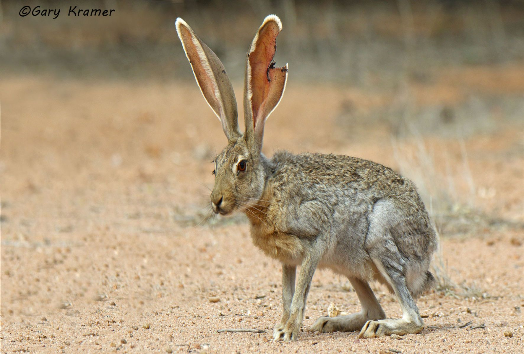 Antelope Jackrabbit (Lepus alleni) - NMRa#018d
