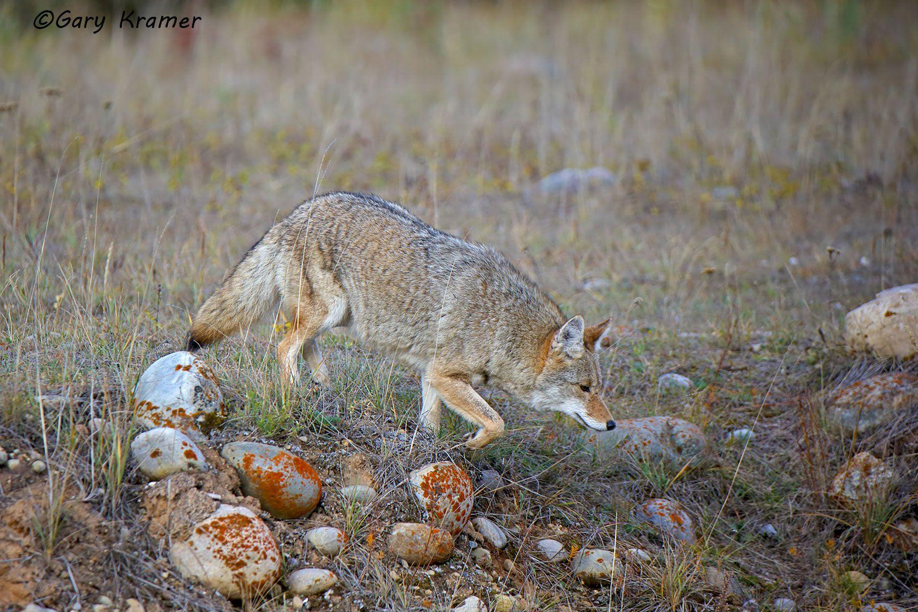 Coyote (Canis latrans) - NMC#1198d