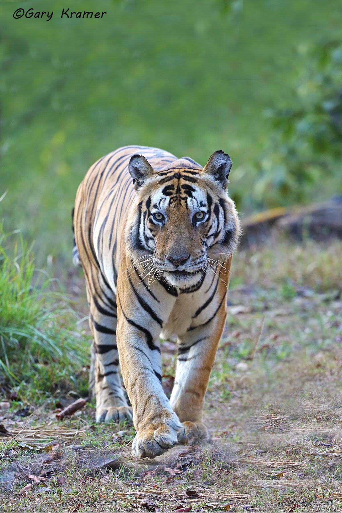 Tiger (Bengal) (Panthera tigrus tigrus) - AMTb#308d
