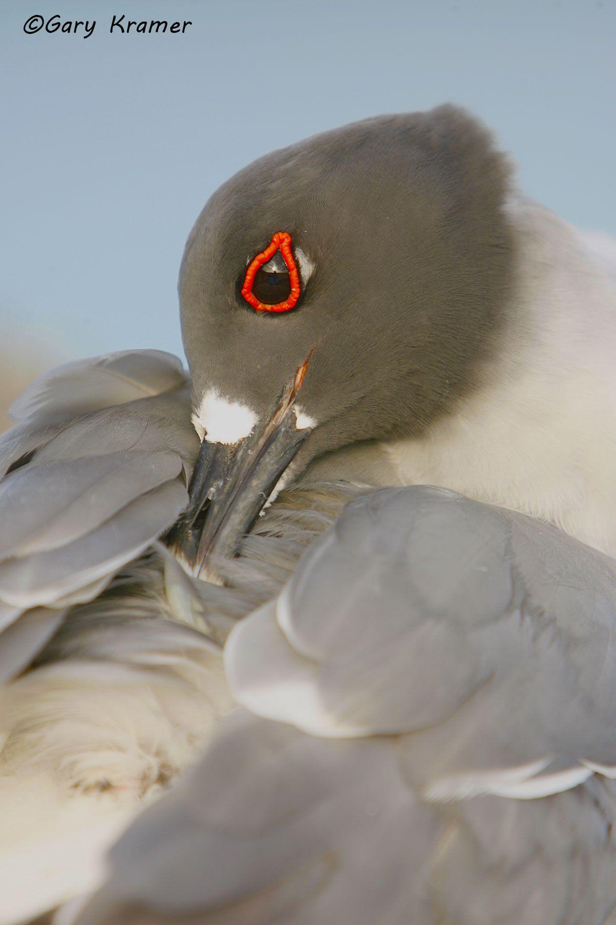 Swallow-tailed Gull (Creagrus furcatus) - SBGs#029d.jpg