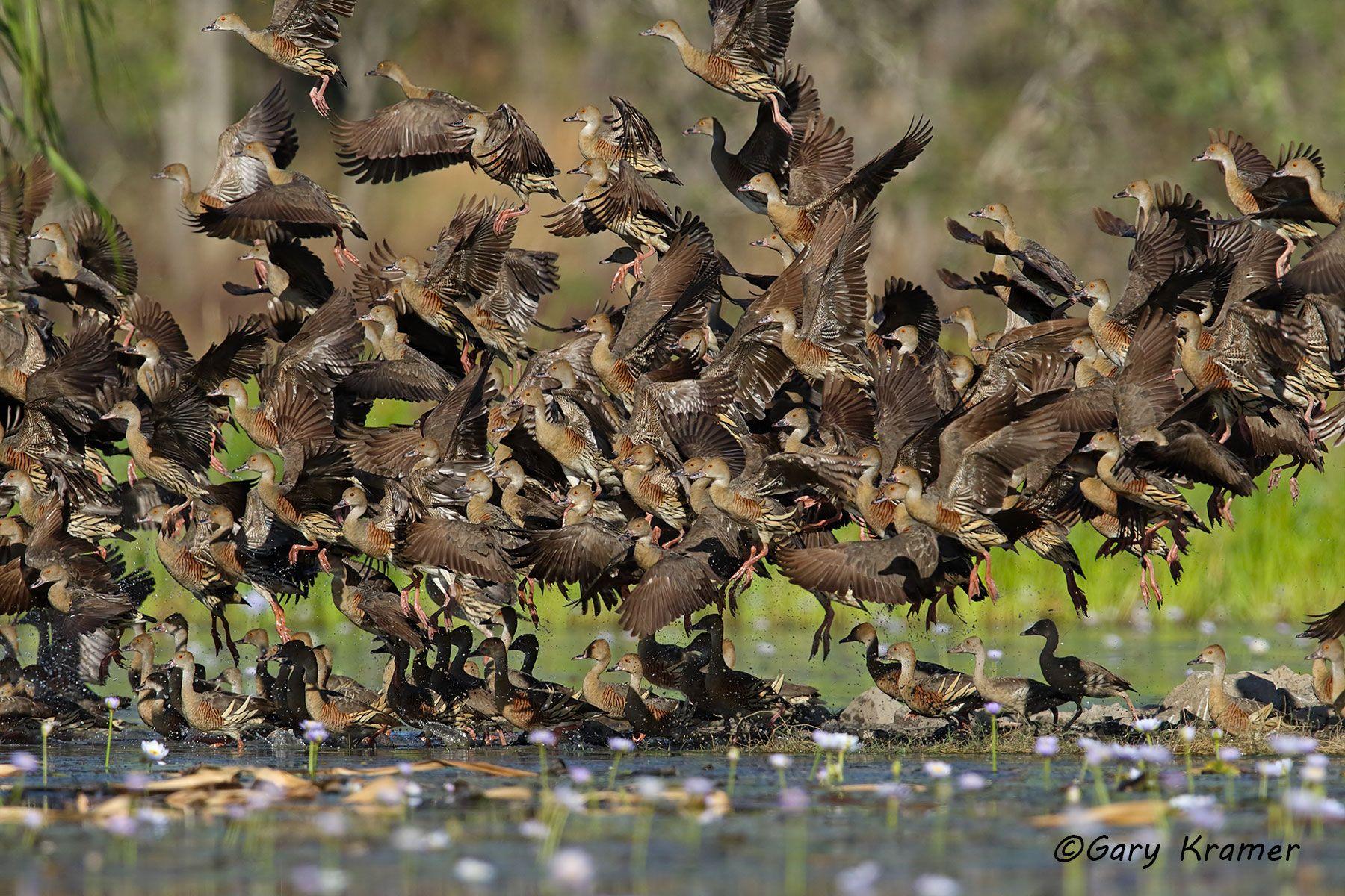 Plumed Whistling Duck (Dendrocygna eytoni) Australia - OBWWp#242d