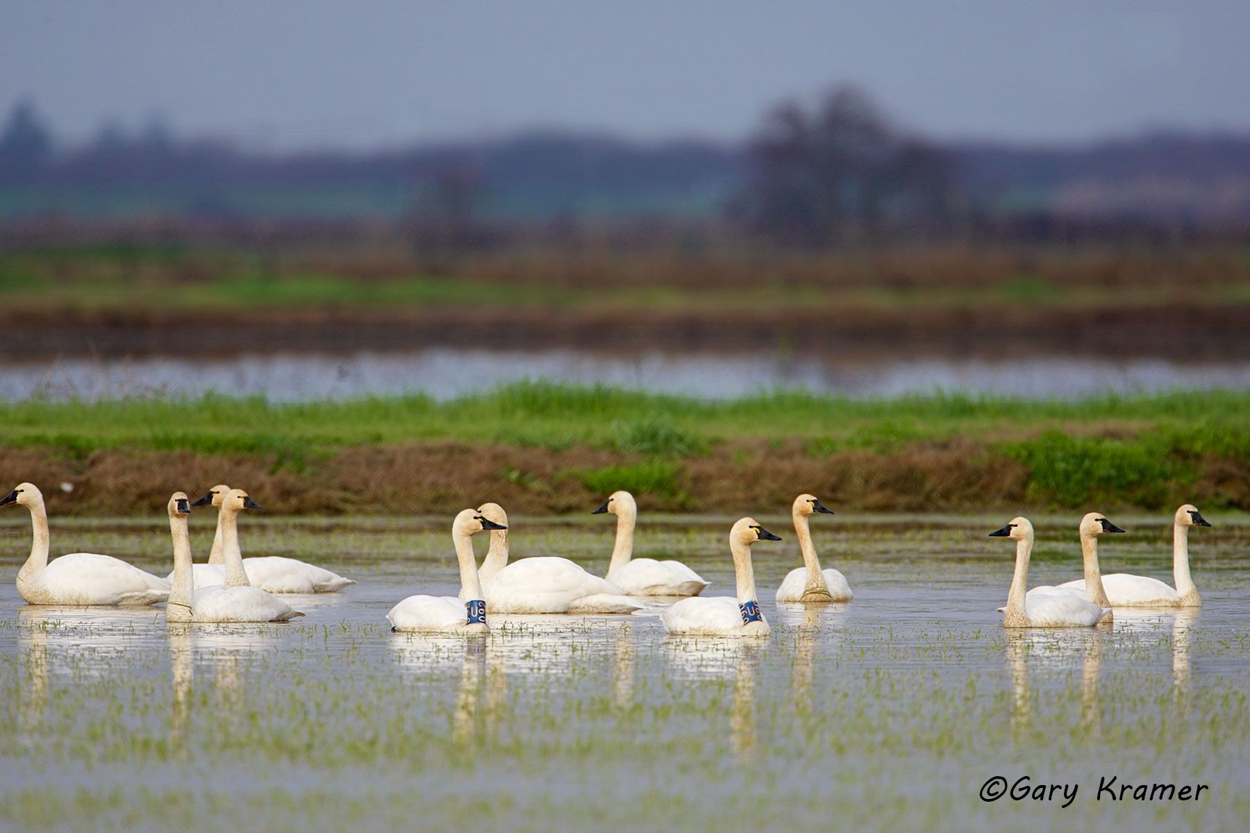 Tundra (Whistling) Swan (Cygnus columbianus) - NBWT#205d
