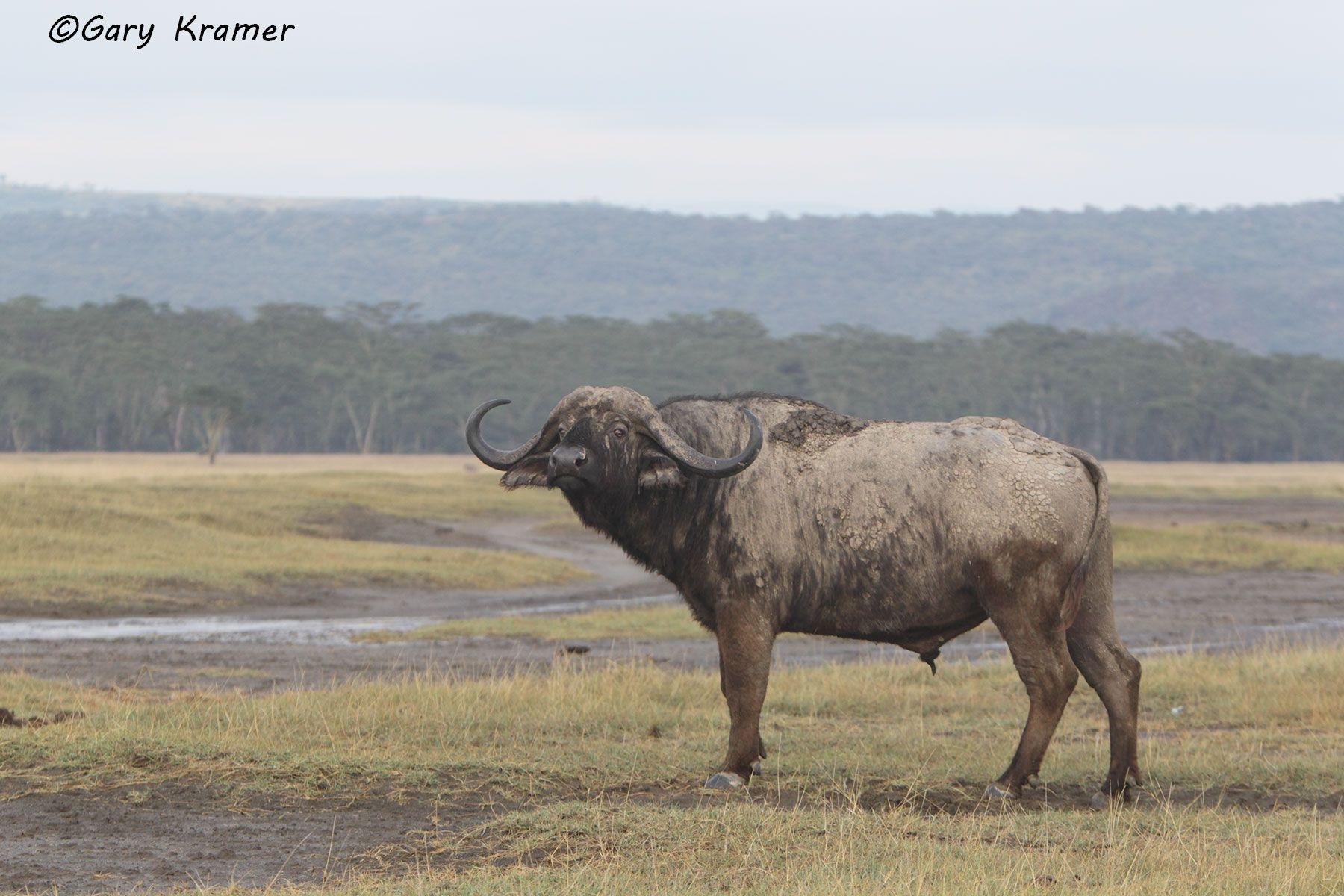 Cape Buffalo (Syncerus caffer) - AMB#678d