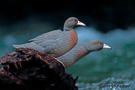 Blue Duck (Hymenolaimus malacorhynchos) - OBWBd#045d