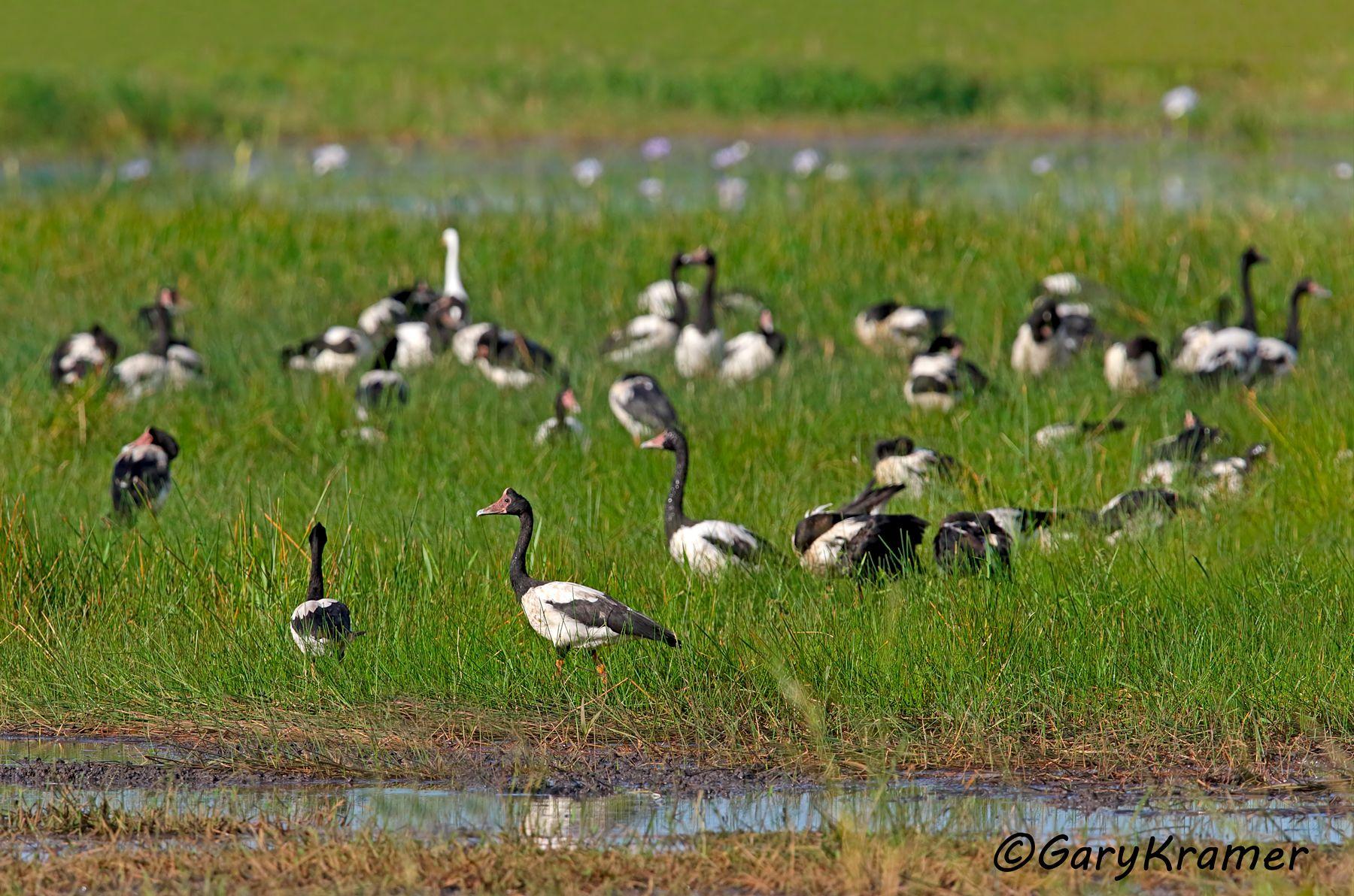 Magpie Goose (Anseranas semipalmata) - OBWGm#115d