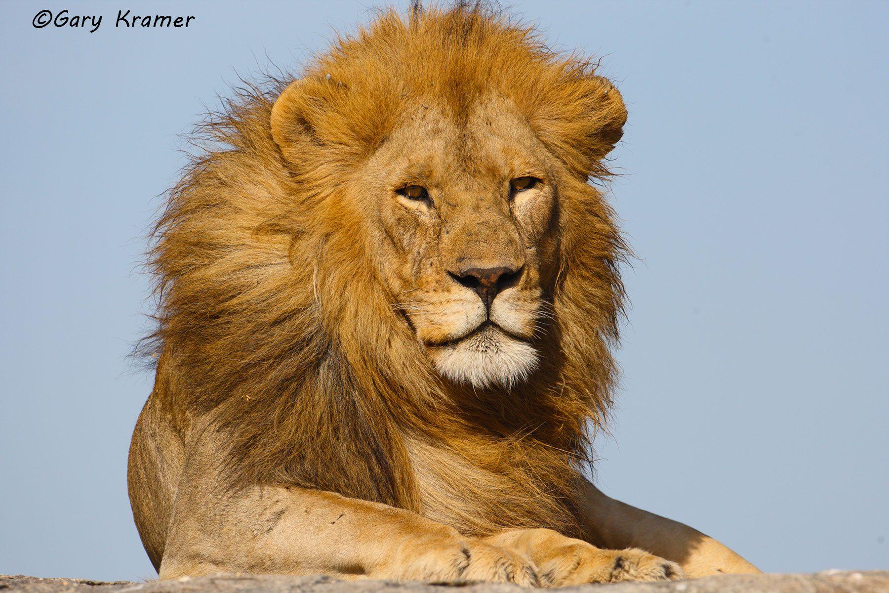 African Lion (Panthera leo) - AMPA#469d