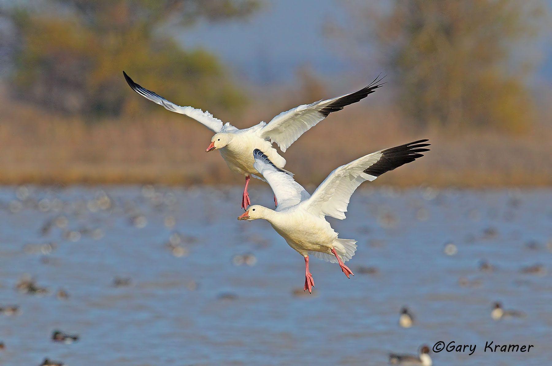 Lesser Snow Goose (Chen caerulescens) - NBWSg#1692d
