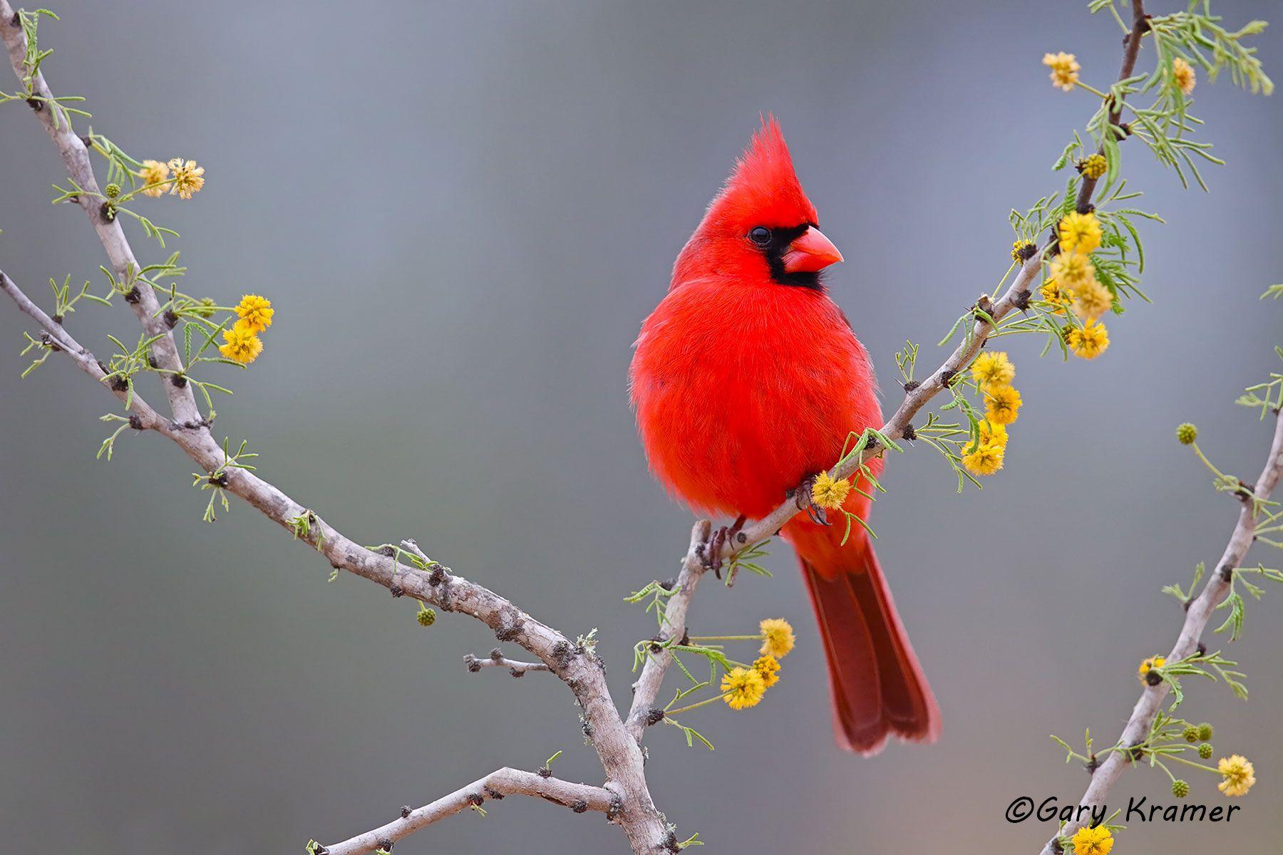 Northern Cardinal (Cardinalis cardinalis) - NBTC#301d