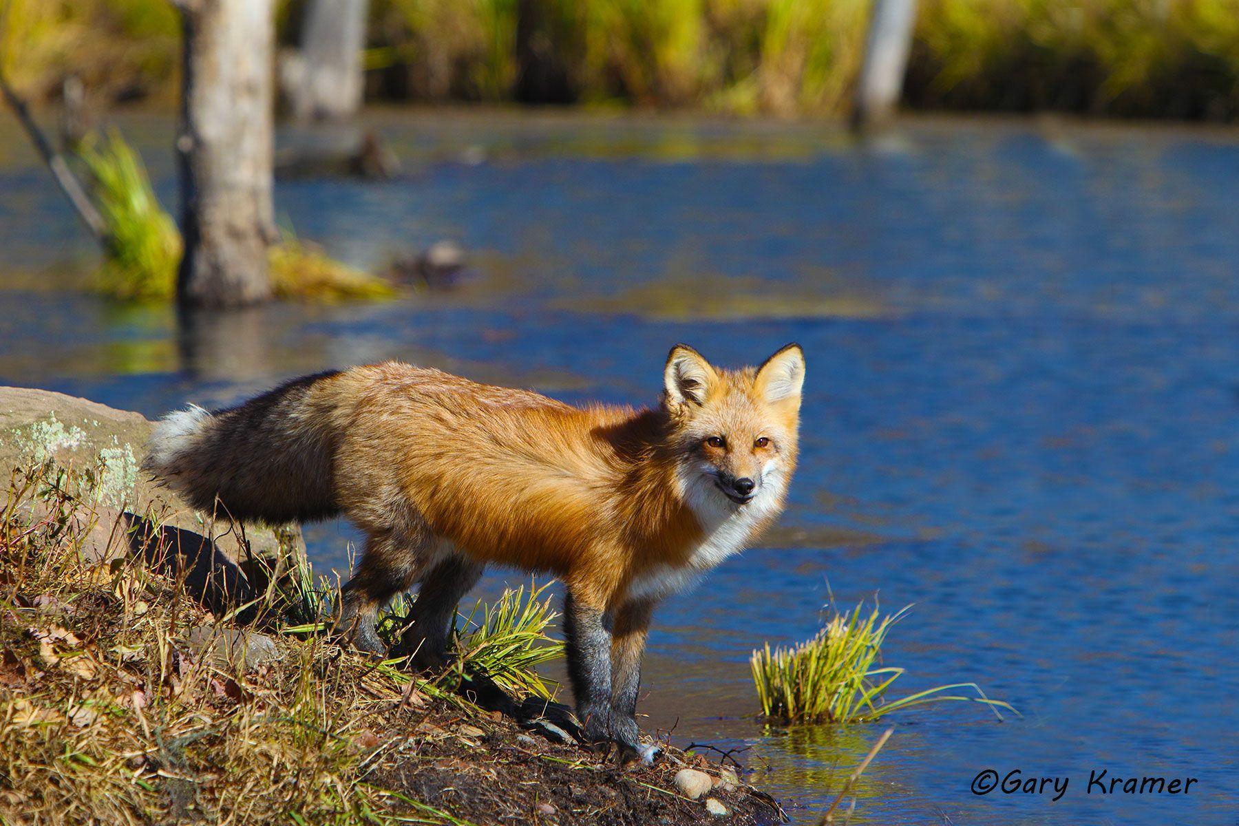 Red Fox (Vulpes fulva) - NMFr#526d