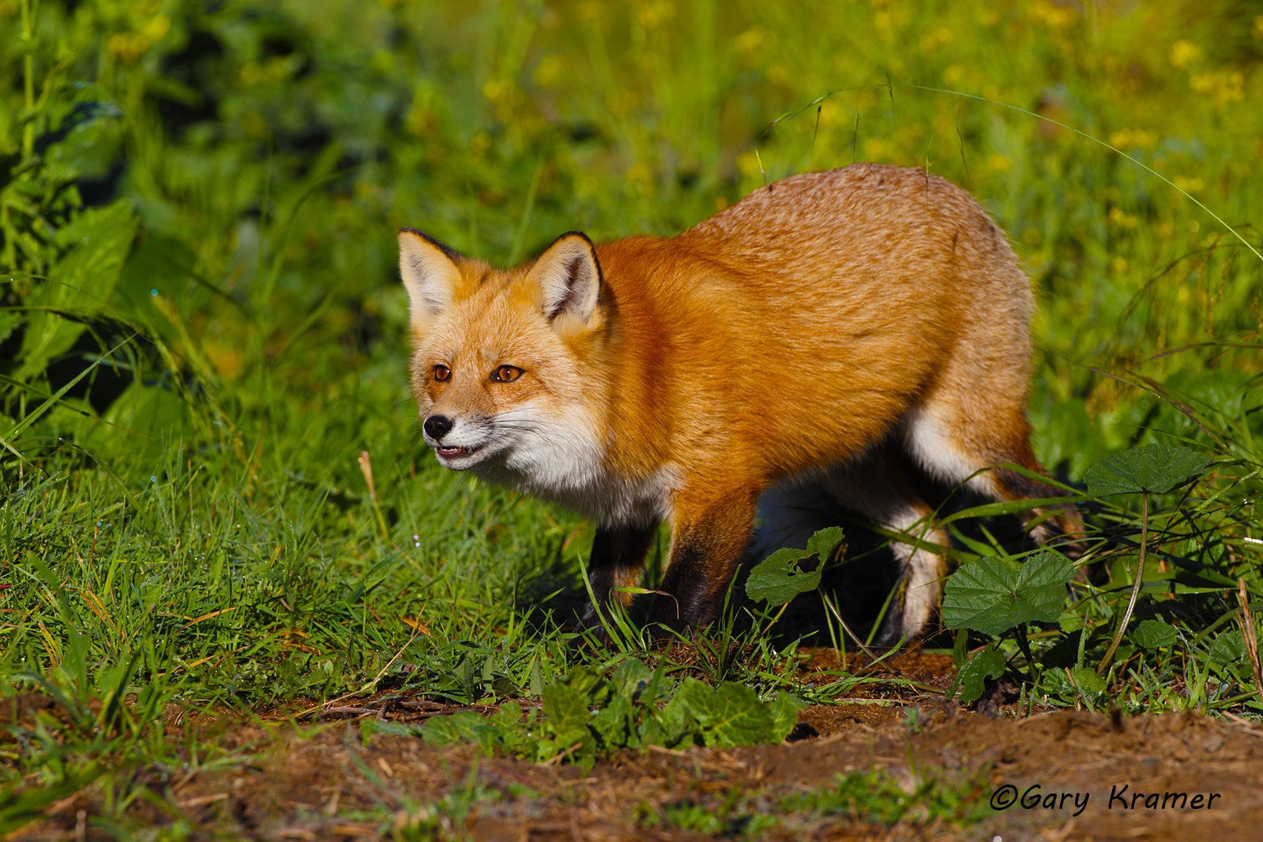 Red Fox (Vulpes fulva) - NMFr#773d