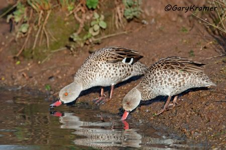 Cape Teal (Anas capensis) - ABWCt#047d