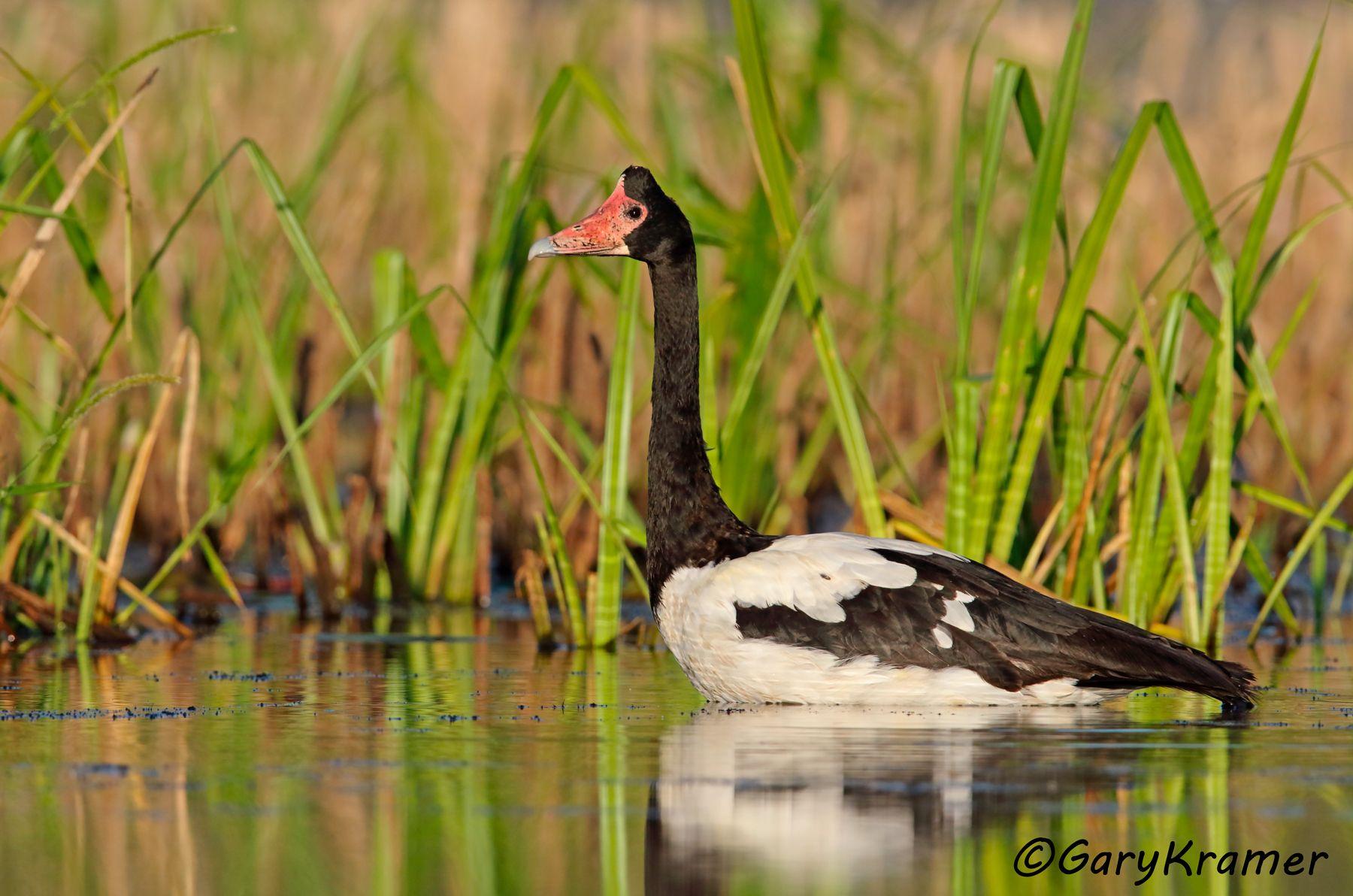 Magpie Goose (Anseranas semipalmata) - OBWGm#074d