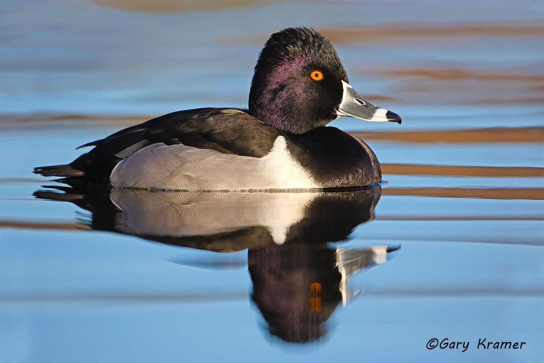 Ring-necked Duck (Aythya collaris) - NBWRn#422d