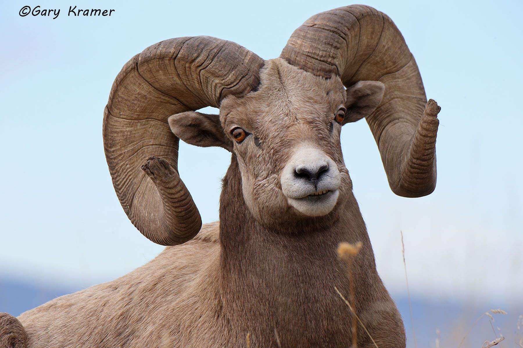 Rocky Mountain Bighorn (Ovis canadensis canadensis) - NMSBr#1185d
