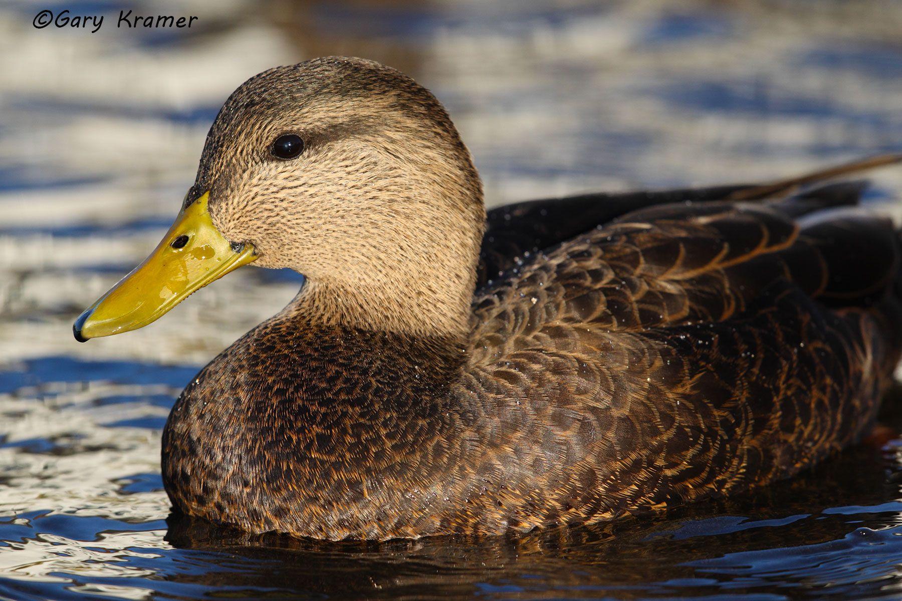 American Black Duck (Anas rubripes) - NBWBb#688d