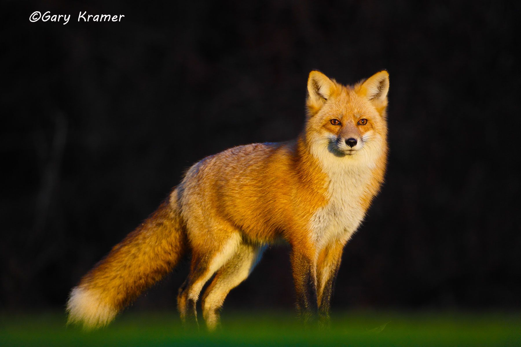 Red Fox (Vulpes fulva) - NMFr#672d
