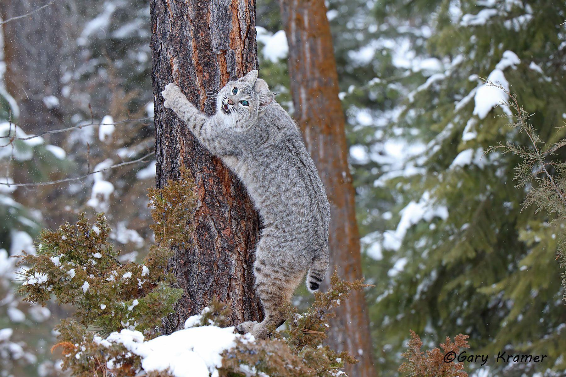 Bobcat (Lynx rufus) - NMCB#498d