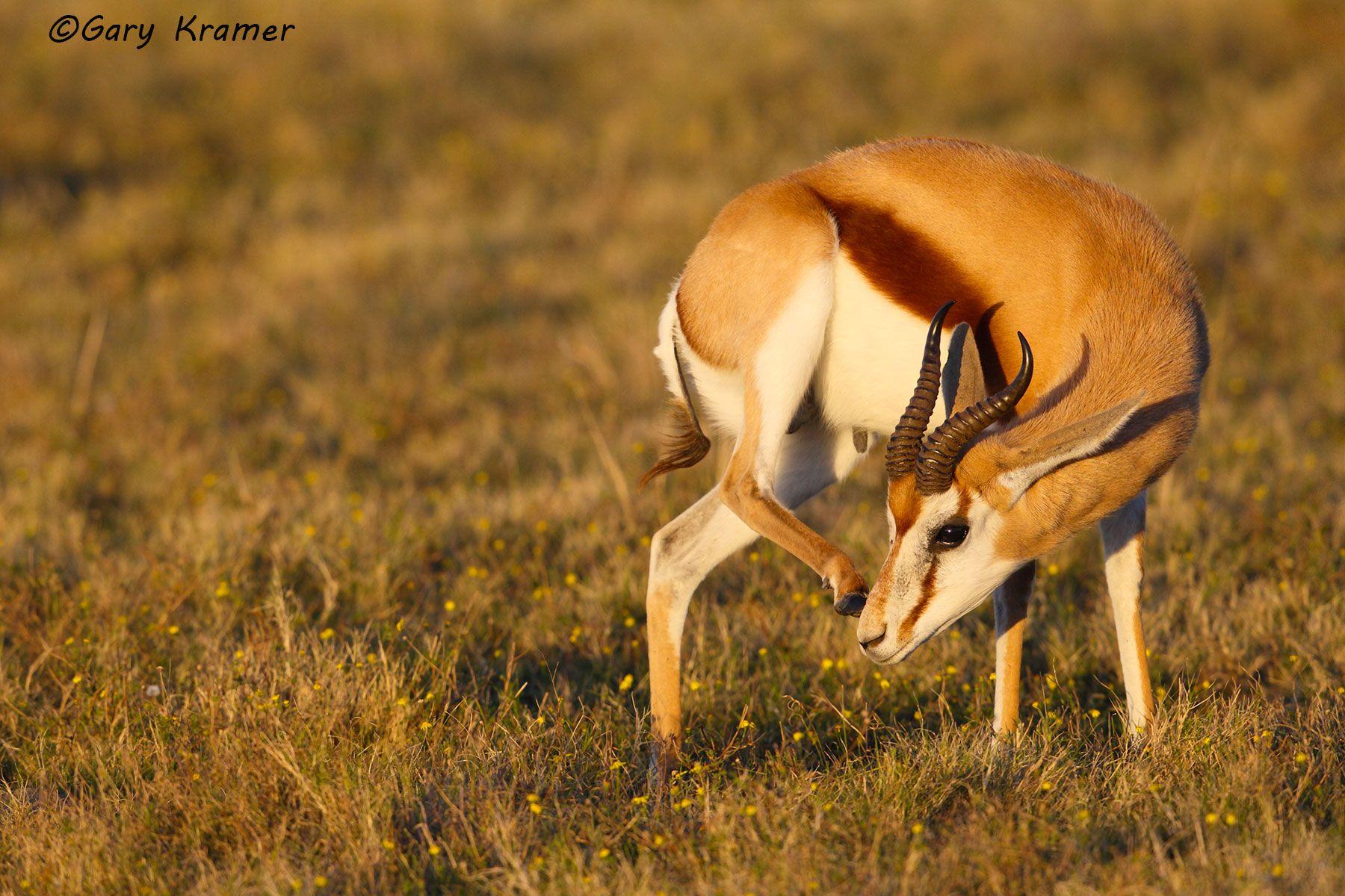 Springbok (Antidorcas marsupialis) - AMUSb#089d