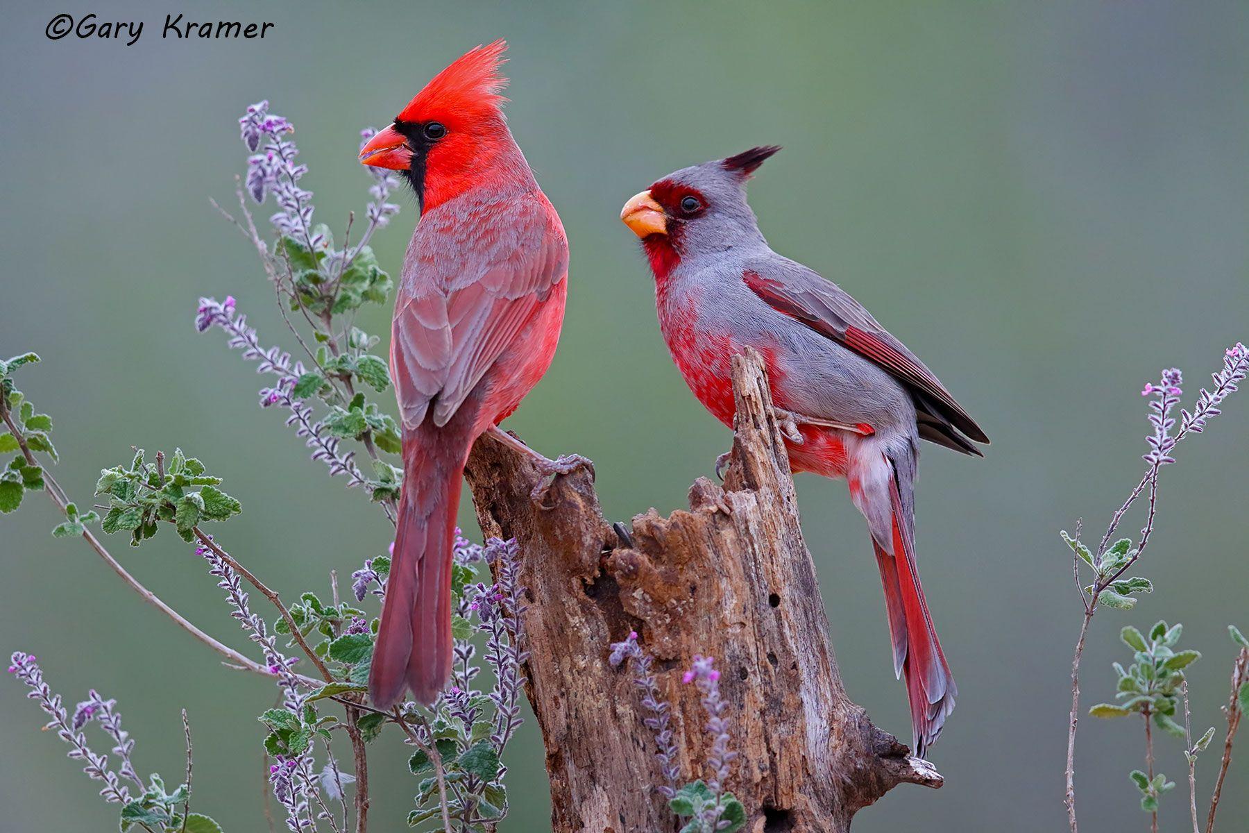Northern Cardinal/Pyrrhuloxia (Cardinalis cardinalis/Cardinalis sinuatus) - NBTCP#017d