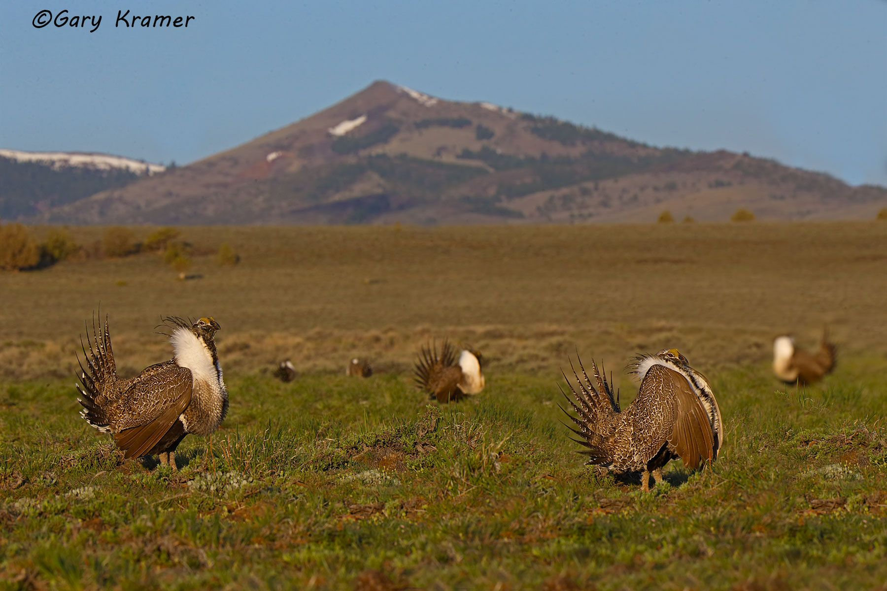 Greater Sage Grouse (Centrocercus urophasianus) - NBGGs#1801d