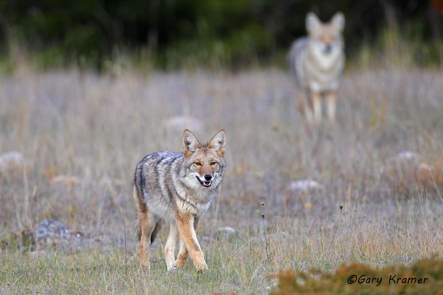 Coyote (Canis latrans)- NMC#1179d