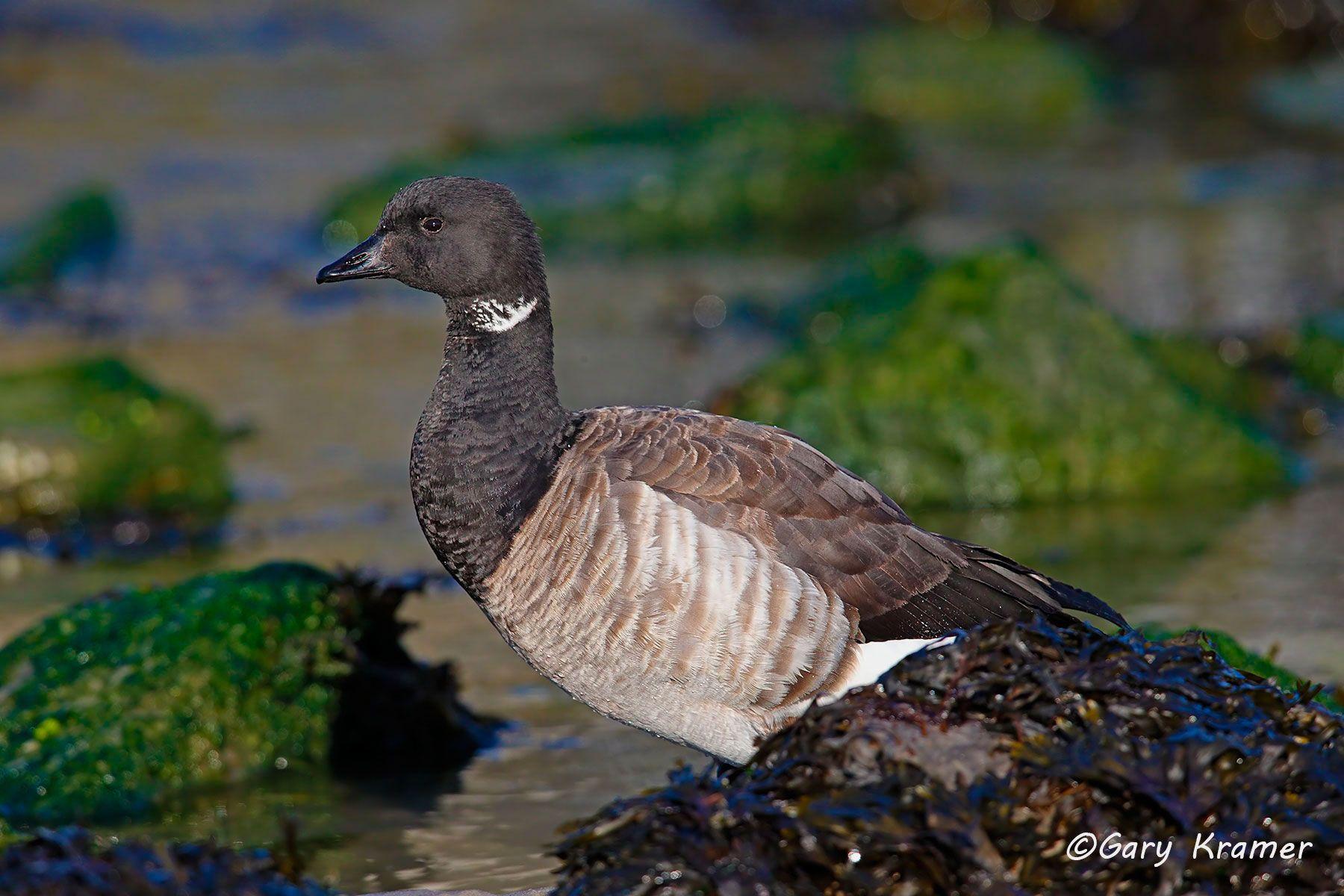 Pale-bellied (Atlantic) Brant (Branta bernicla hrota) - NBWBa#353d