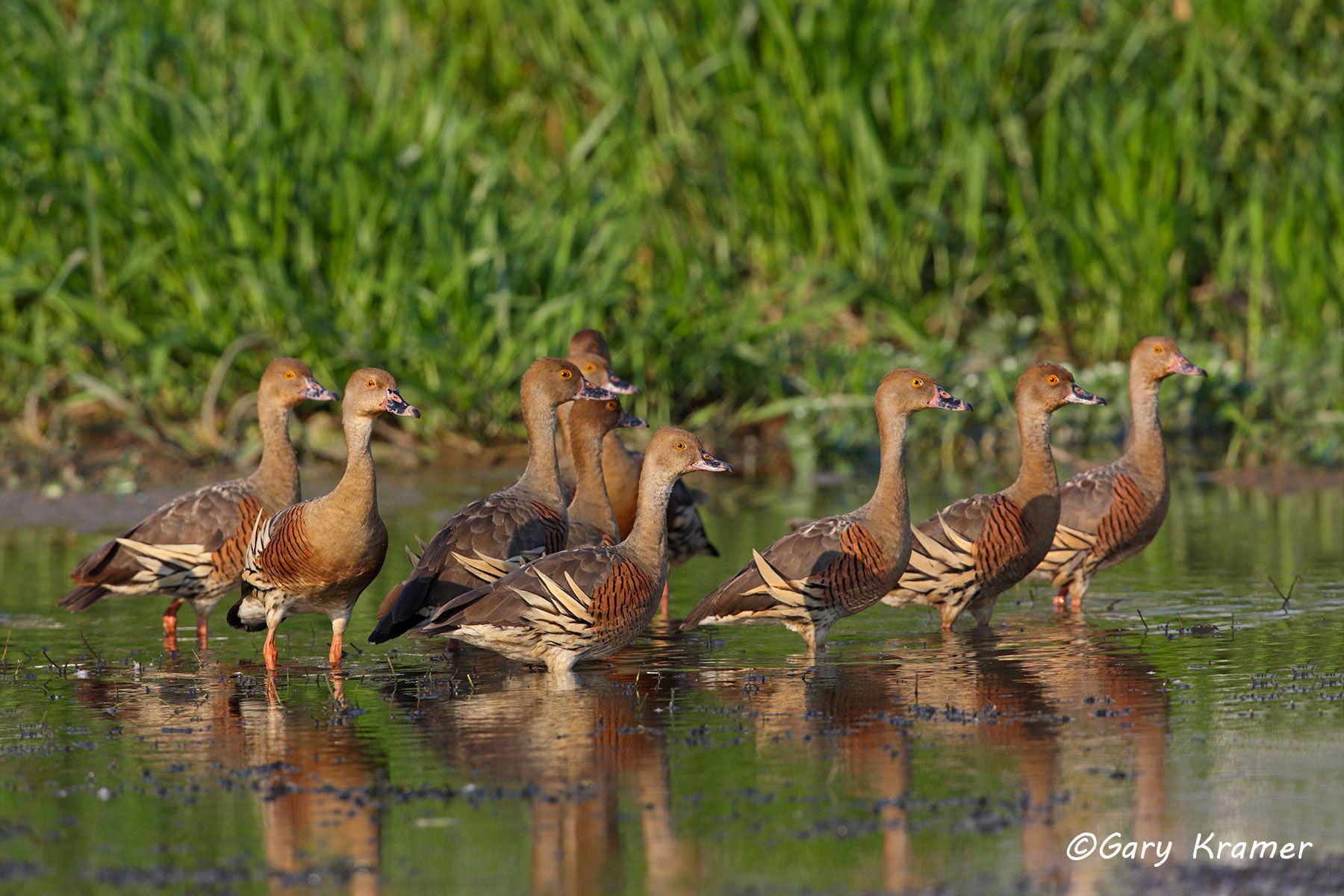 Plumed Whistling Duck (Dendrocygna eytoni) Australia - OBWWp#160d