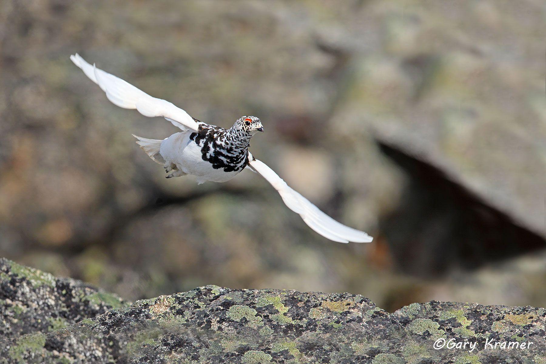 White-tailed Ptarmigan (spring) (Lagopus leucurus) - NBGPts#279d