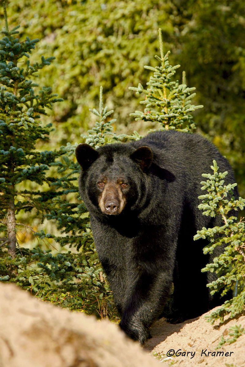 Black Bear (Urusus americanus) - NMBb#413d
