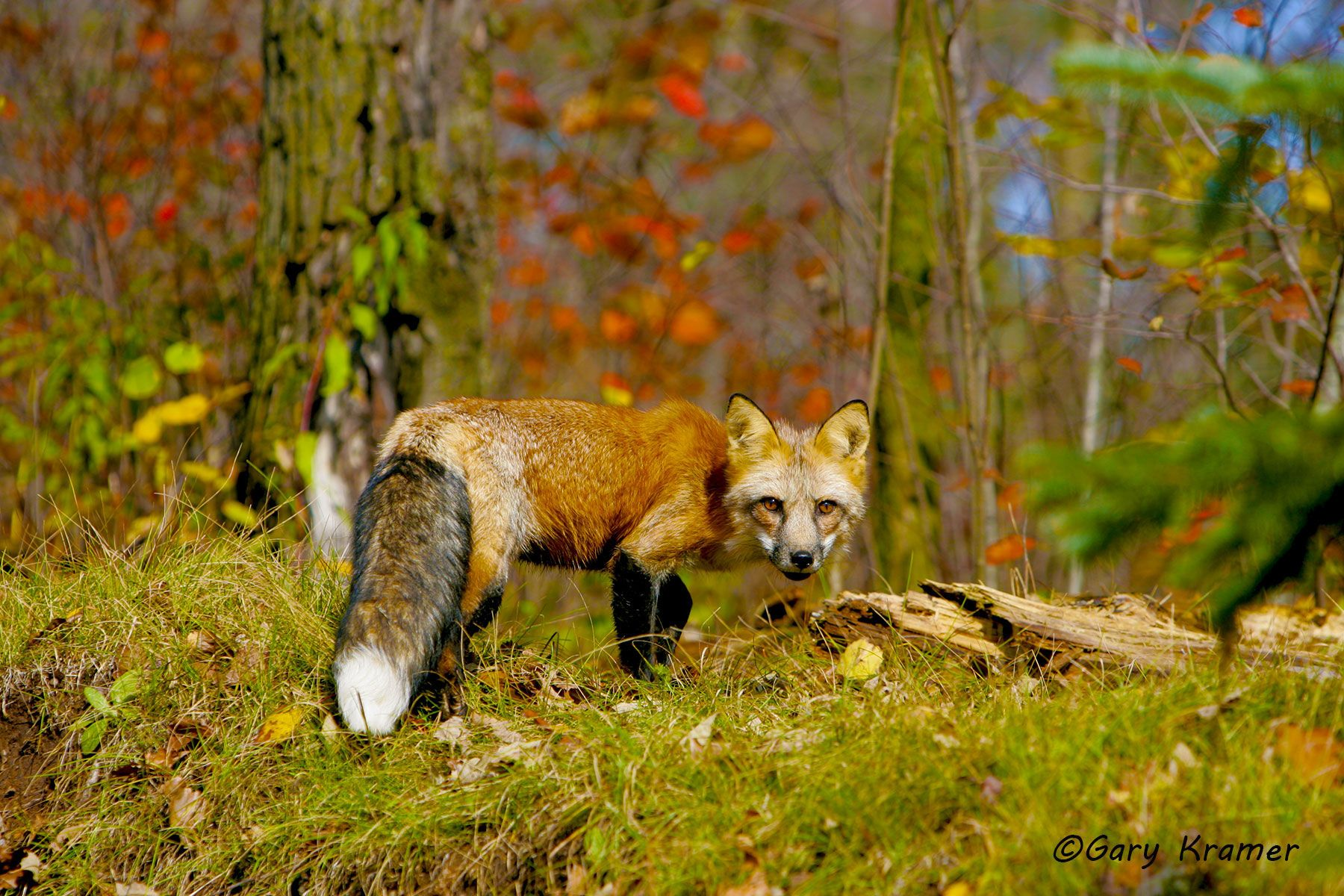 Red Fox (Vulpes fulva) - NMFr#327d