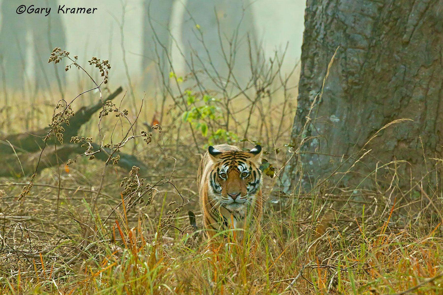 Tiger (Bengal) (Panthera tigrus tigrus) - AMTb#493d