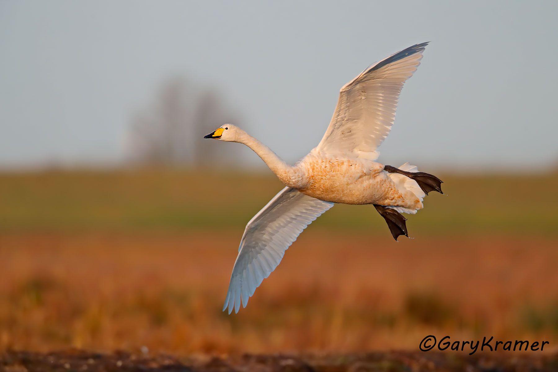 Whooper Swan (Olor cygnus) - EBWSw#122d