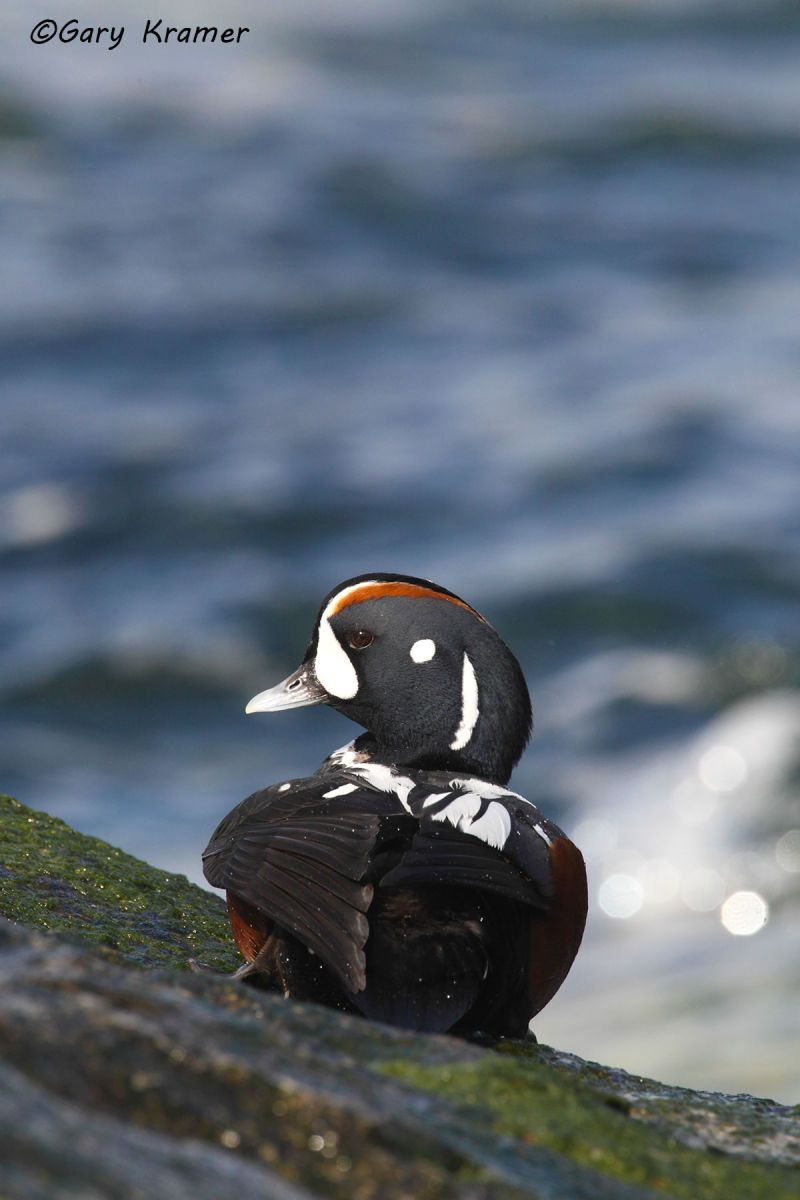 Harlequin Duck (Histrionicus histrionicus) - NBWH#196d