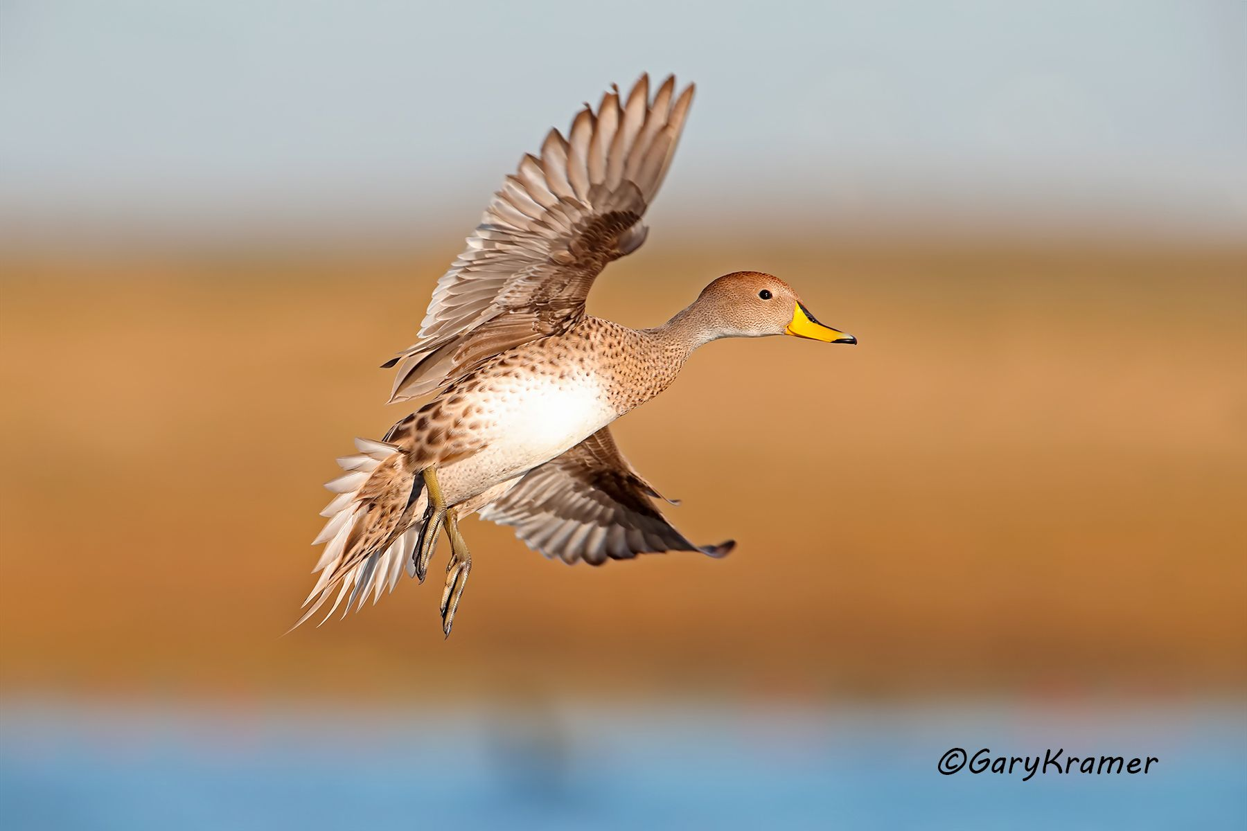 Yellow-billed Pintail (Anas georgica) Argentiana - SBWPi#229d
